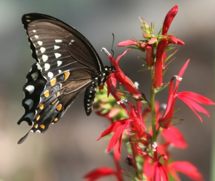 A memengwaa (butterfly) sipping nectar from an Ishkodebagonii (cardinal flower)